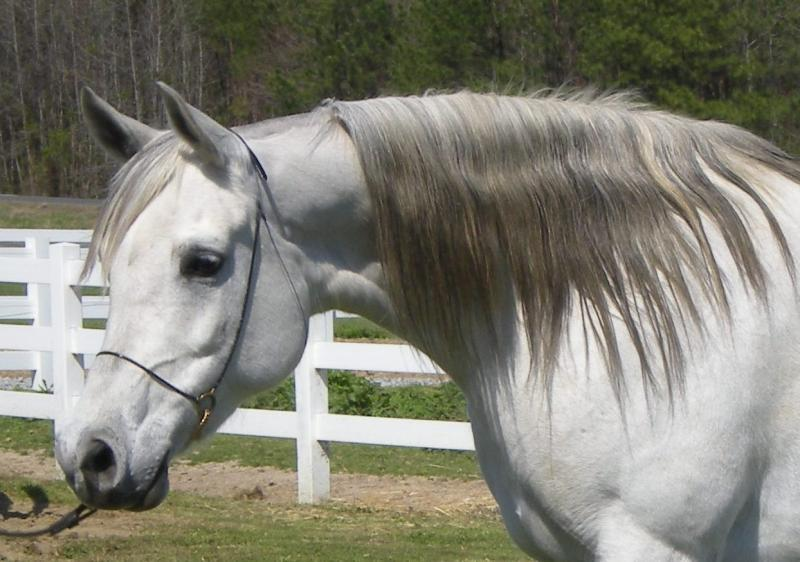 BINT BAAREZ, 2000 grey mare by Imperial Baarez x. daughter of Thee Desperado