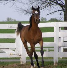 Gameela FA first colt, a bay sired by EP Vega