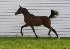 2010 Bay colt from Gameela FA and sired by EP Vega