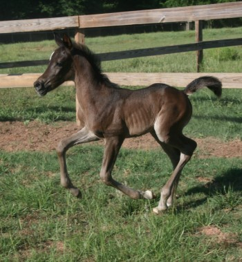 MS Tewfik black filly from rare Tahawiyah female line