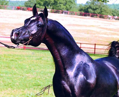 Al Baraki, black stallion sired by Thee Desperado