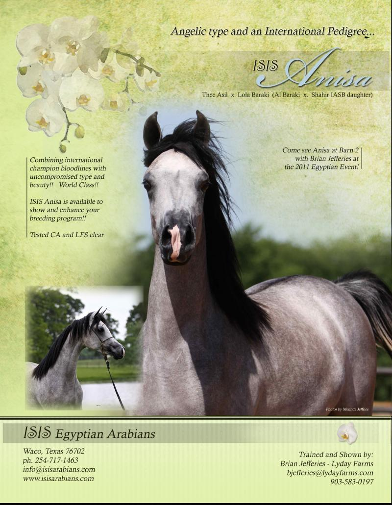 ISIS Anisa, 2010 grey mare, sired by Thee Asil x. Lola Baraki by Al Baraki