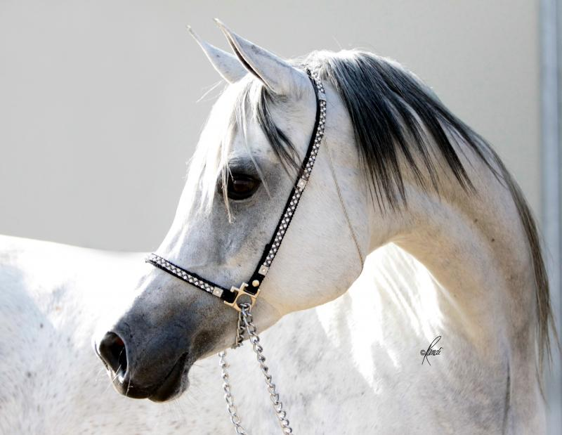 BINT BAAREZ 2000 grey mare by Imperial Baarez x. daughter of Thee Desperado