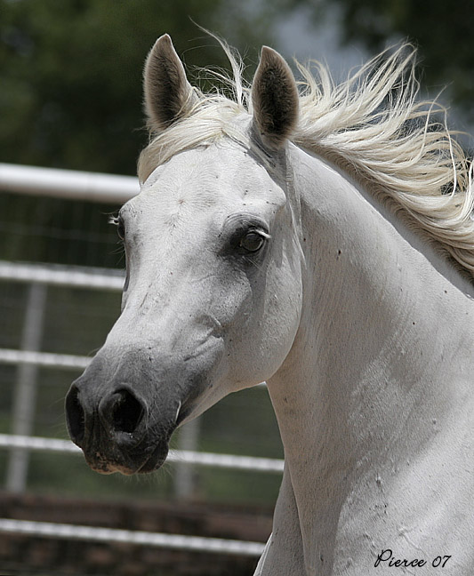 Ysabella, 1993 grey mare, sired by El Moongi x. *Nibiras