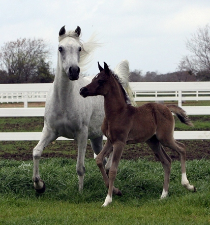 LOLA BARAKI and her 2012 black son ISIS CAREEM sired by Bellagio RCA
