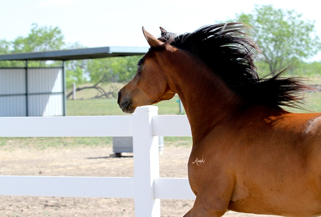 ISIS AMEENA, 2010 bay mare, sired by Pimilco RCA x. Thee Kajaree by The Minstril