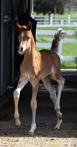 ISIS CRISTAARA, 2012 chestnut filly, by Imperial Mistaar x. Amira Asila by Thee Asil