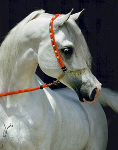 Imperial Baarez, 1996 grey stallion sired by PVA Karim x. daughter of Orashan