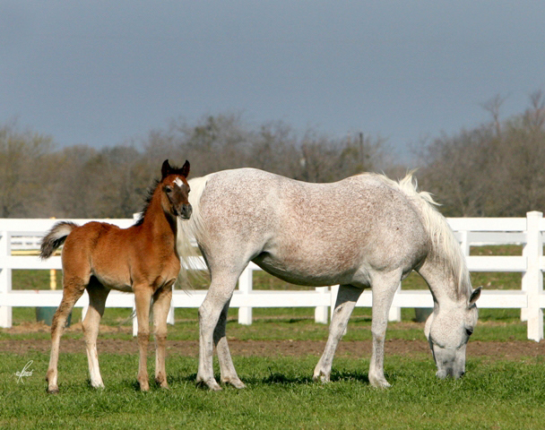 ZAIRAH grey mare sired by TheeDesperado with 2010 filly