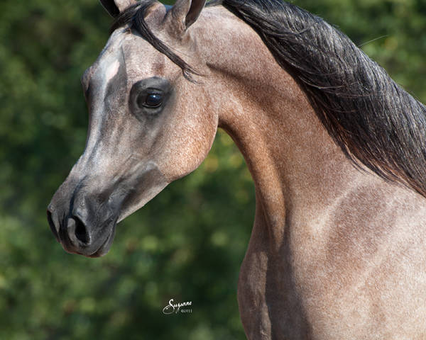 ISIS AMURRAH, 2010 grey mare, sired by The Sequel RCA x. Zairah