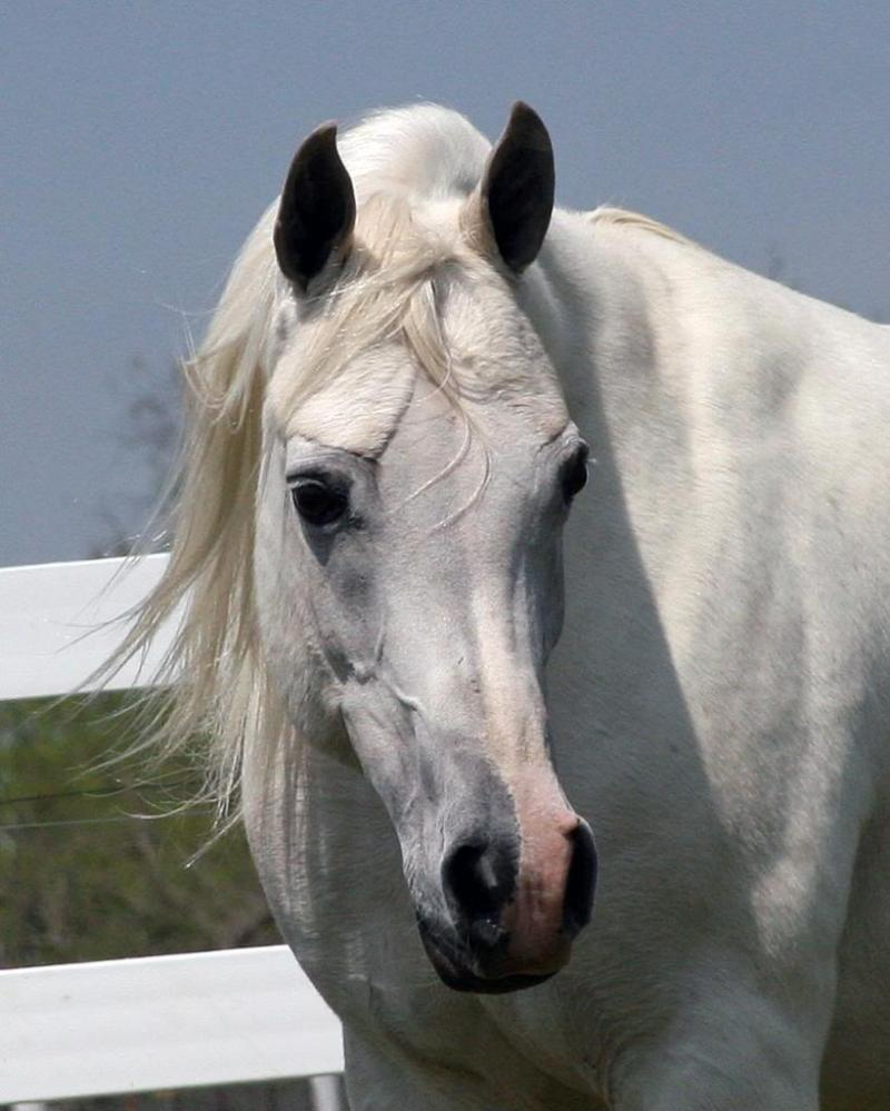 The Last Princess, 1994 grey mare by TheEgyptianPrince x. Bellesha by The Minstril