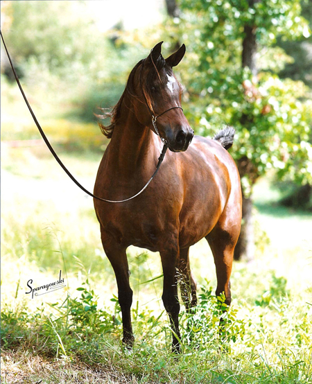 Minstrils Bouquet, bay mare sired by The Minstril