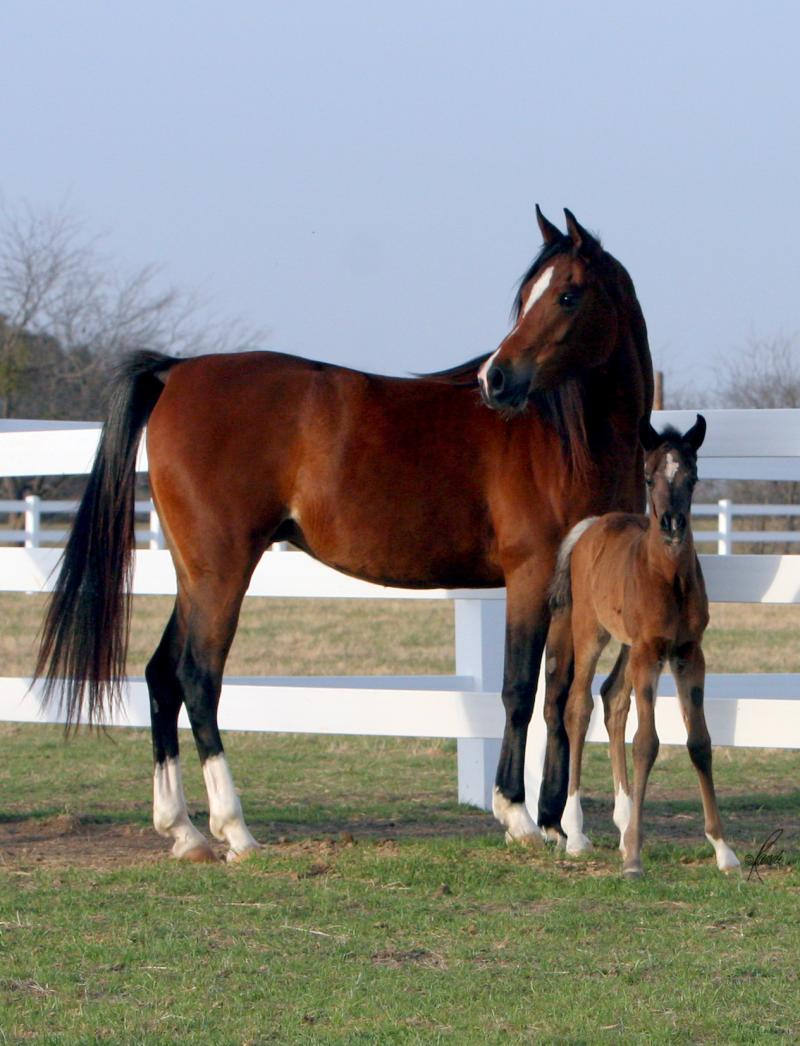 Thee Kajaree, bay mare, sired by The Minstril AND filly ISIS Nadia
