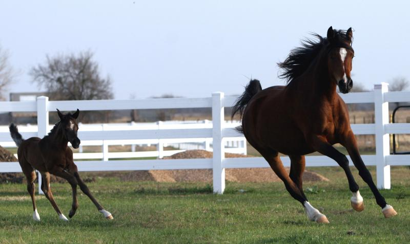 Thee Kajaree, bay mare, sired by The Minstril and 2009 filly