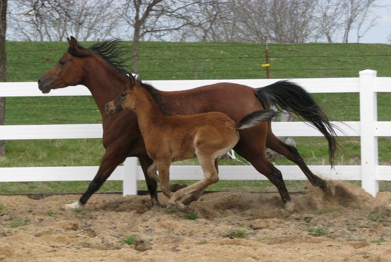 LL Starsong and her 2010 colt ISIS Asad by Mishaal HP