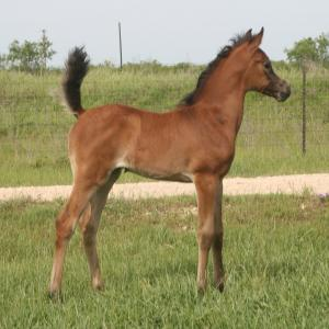 ISIS DONATELLA, 2013 grey filly, by *Mishaal HP x. LL Starsong by Pimlico RCA