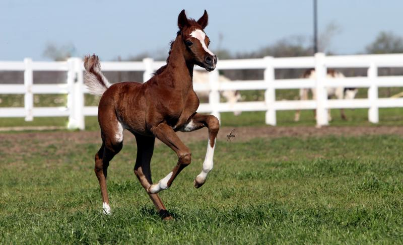 Thee Infidel x. Josalina 2010 filly