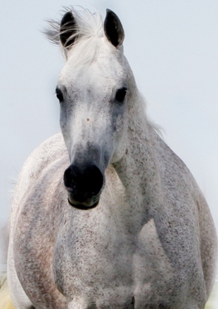 ZAIRAH, 1994 grey mare by Thee Desperado x. *Nibrias by EAO El Moongi
