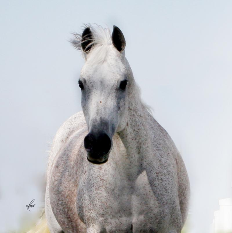 ZAIRAH grey mare sired by Thee Desperado