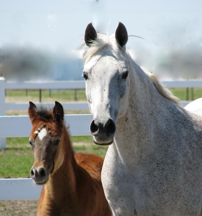Zairah grey mare sired by Thee Desperado & 2010 filly