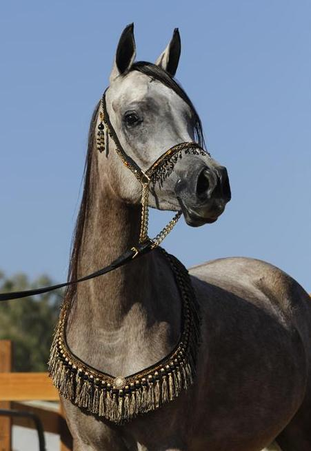 ISIS BATEENAH, 2011 grey mare by *Mishaal HP x. Thee Kajaree by The Minstril