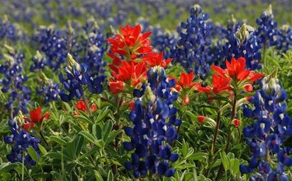 Texas wildflowers appear in the spring on the farm